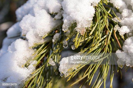 Pine bajo la nieve : Foto de stock