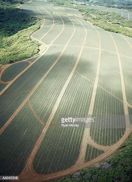 Pineapple Fields, Maui
