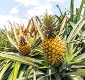 Pineapple fruit on the bush