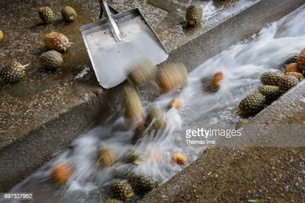 Pineapple fruits are transported with a shovel into a water channel Production of juice at beverage manufacturer Kevian Kenya Ltd on May 18 2017 in...