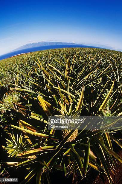 Pineapple growing in a field, Hawaii, USA