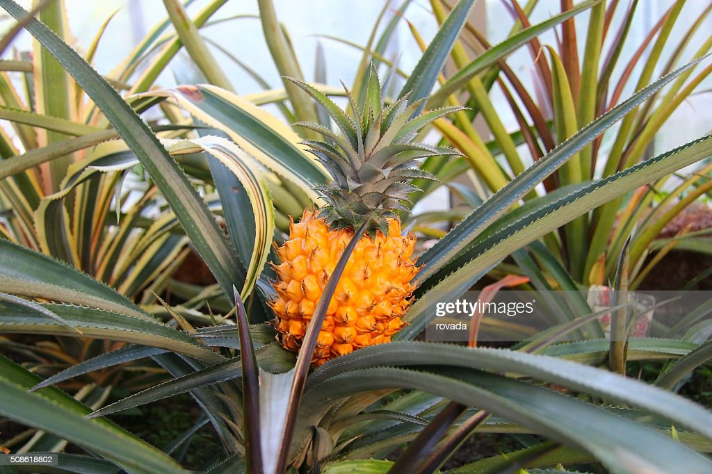 pineapple plant in a greenhouse : Stock Photo