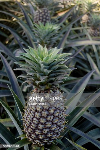 Pineapples growing in a field, India : Stock Photo