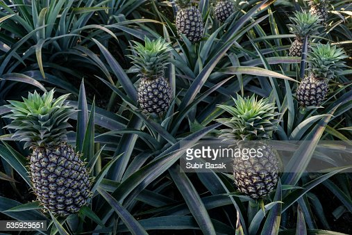 Pineapples plant in garden, India : Stock Photo