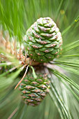 Pinecones of Chinese red pine on tree