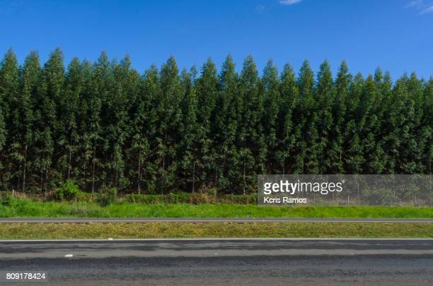 Pines on the road