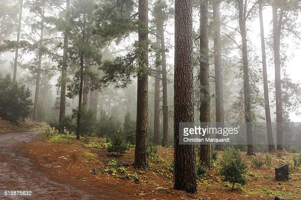 Pines Pine trees and a road in a forest sourrounded by fog pictured next to Santiago del Teide on February 27 in Tenerife Spain Tenerife with his...