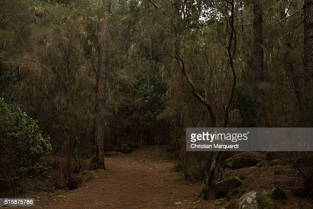 Pines Pine trees and a small path in a forest pictured next to Santiago del Teide on February 25 in Tenerife Spain Tenerife with his capital Santa...