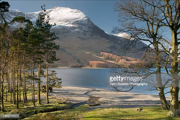 Pines trees with Buttermere