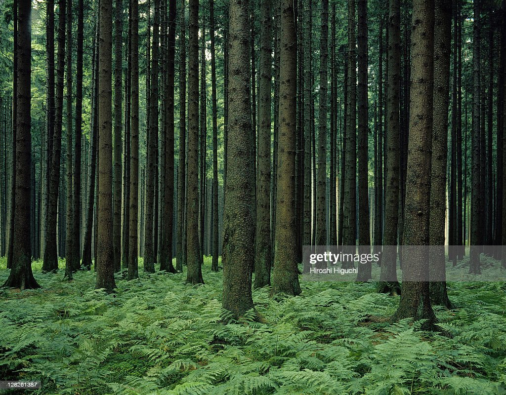 Pine-wood, Upper Bavaria, Germany : Stock Photo
