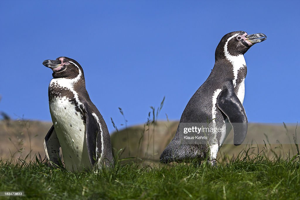 Pinguin : Stock Photo