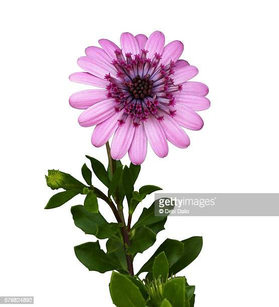 Pink African Daisy on Stem