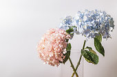 Pink and blue Hydrangea macrophylla macro shot with white background