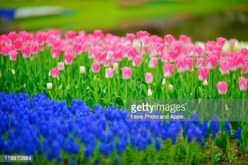 Pink and blue tulips