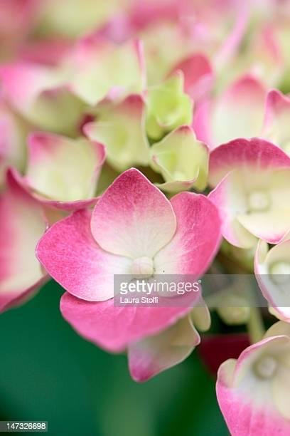 Pink and cream Hydrangea flowers macro catch