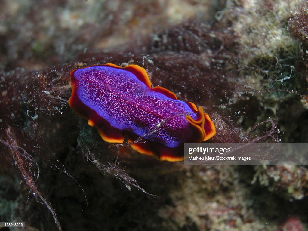 Pink and orange flatworm (Pseudoceros ferrugineus), Indonesia.