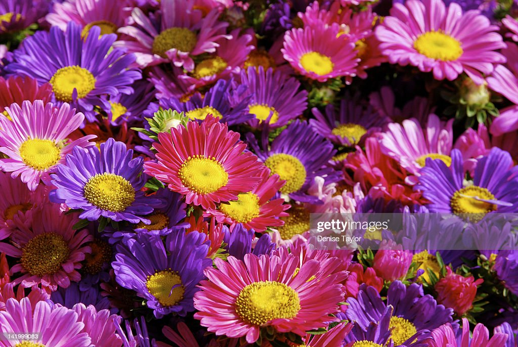 Pink and purple daisies : Stock Photo
