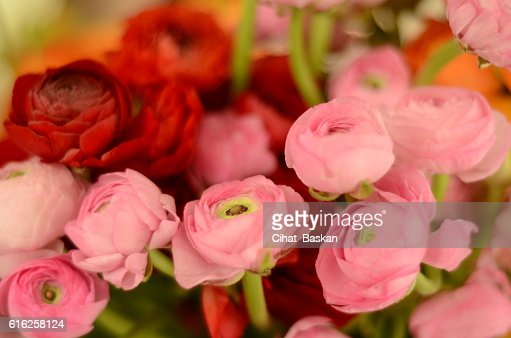 Pink and red roses : Stock Photo