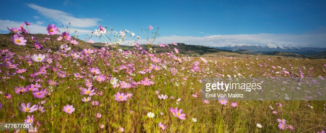 Pink and White Cosmos Flowers under a cloudy sky