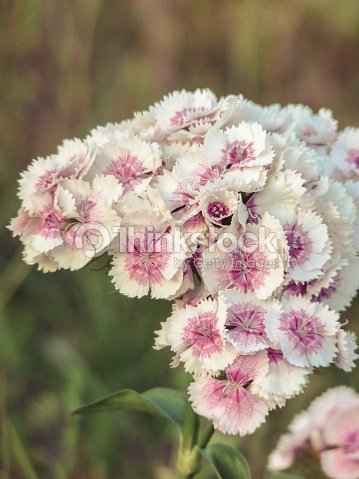Pink and white frilly sweet william flowers in a meadow stock photo pink and white frilly sweet william flowers in a meadow stock photo mightylinksfo
