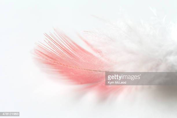 Pink and white Galah feather