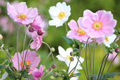 Photo showing pink and white Japanese anemone flowers (Latin name: Anemone hybrida 'Elegans'), showing the petals, stamen and pollen.  The Japanese anemones are growing in a herbaceous border / flower