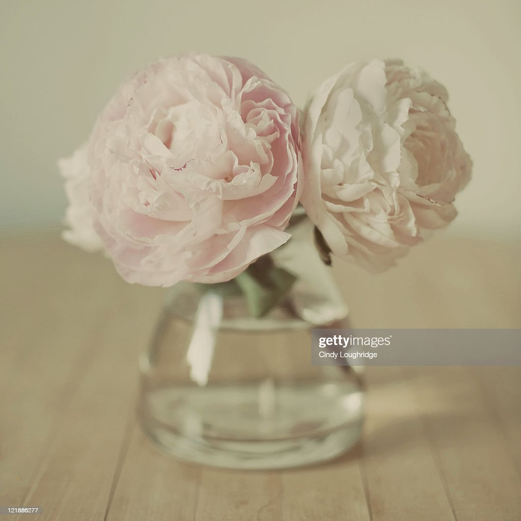 Pink and white peonies : Stock Photo