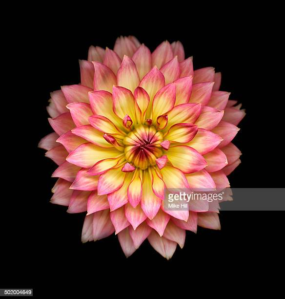 Pink and yellow Dahlia on black background