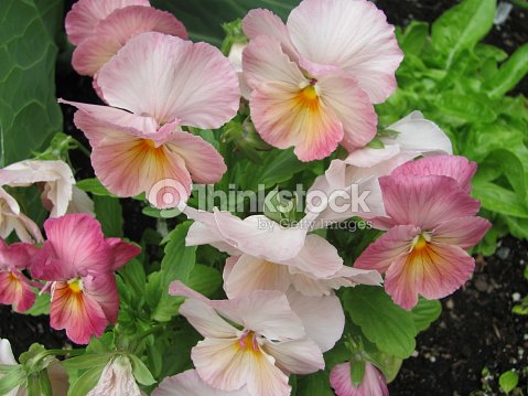 Pink and yellow pansy flowers stock photo thinkstock pink and yellow pansy flowers stock photo mightylinksfo