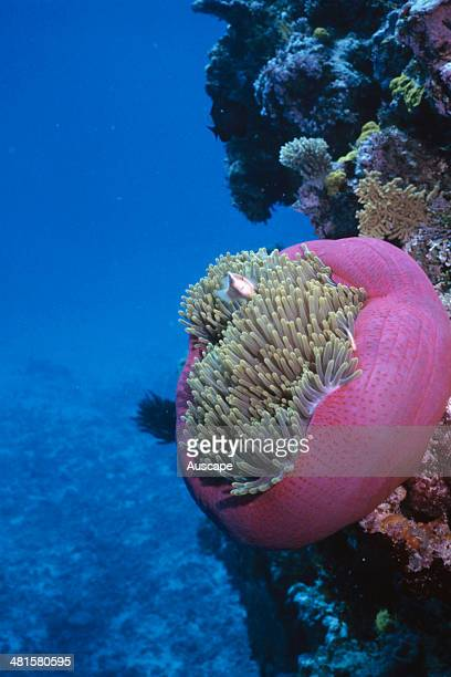 Pink anemonefish Amphiprion perideraion and host magnificent sea anemone Heteractis magnifica Great Barrier Reef Queensland Australia