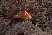 Pink anemonefish in its host anenome, Fiji.