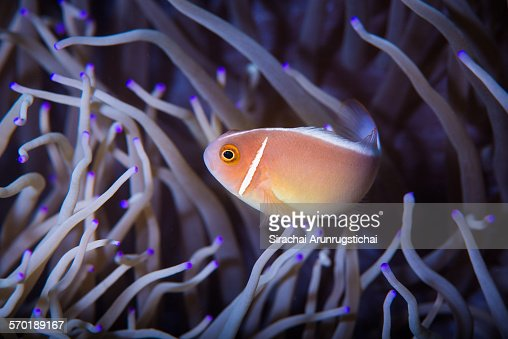 Pink anemonefish in leathery anemone, Philippines