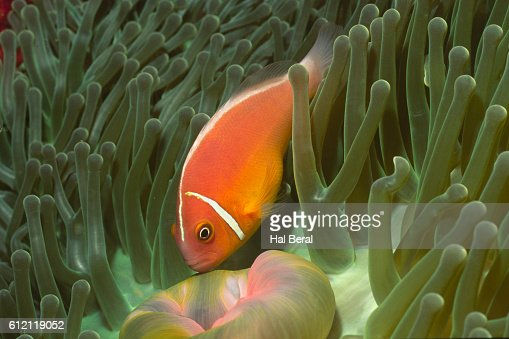 Pink Anemonefish in Magnificant Sea Anemone