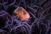 Pink Anemonefish in sea anemone.