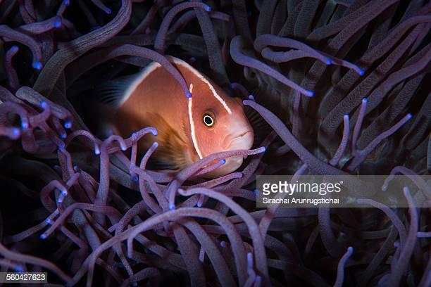 Pink Anemonefish in sea anemone.
