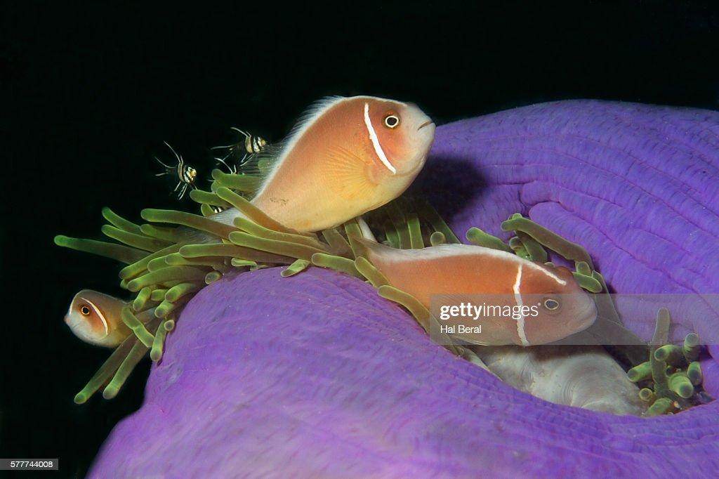 Pink Anemonefish in Sea Anemone