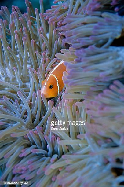 Pink Anemonefish (Amphiprion perideraion) in sea anemone