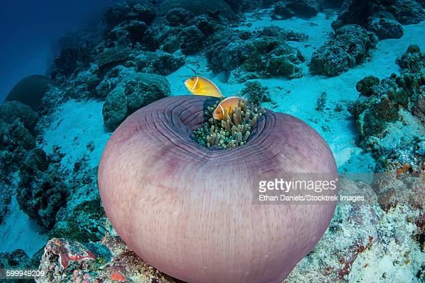 Pink anemonefish (Amphiprion perideraion) swim close to their host anemone on a reef in Palau.
