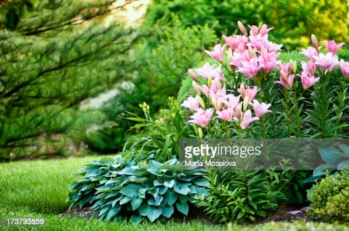 Pink asiatic lilies and hostas