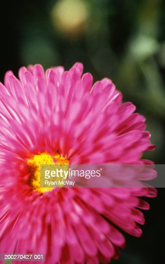 Pink Aster, close-up : Stock Photo