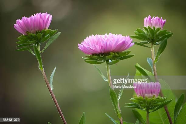 Pink Aster Flower Quartet