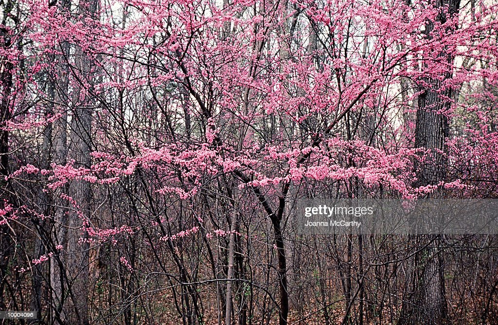 Pink blooms on trees, winter : Foto de stock