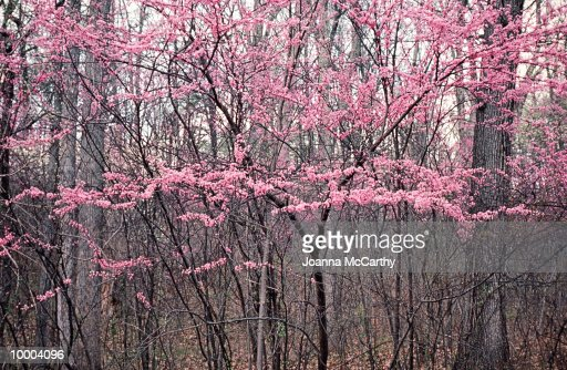 Pink blooms on trees, winter : ストックフォト