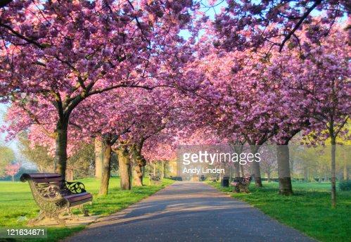 blossom park tree pink - photo #17