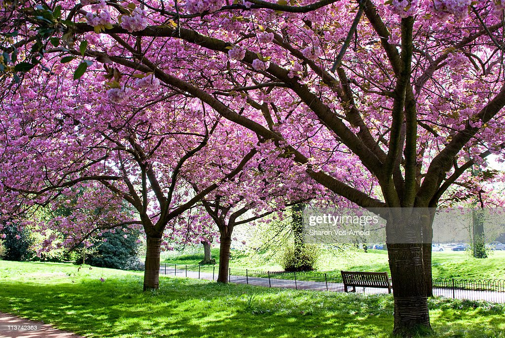 Pink blossom trees in London park gardens