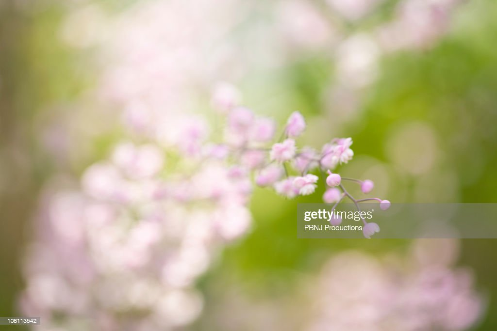 Pink blossoms on flower stem : Stock Photo
