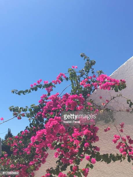 Pink Bougainvillea Blooming Outdoors