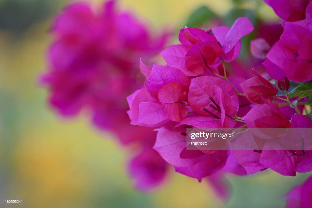 Buganvília Flor-de-rosa : Foto de stock
