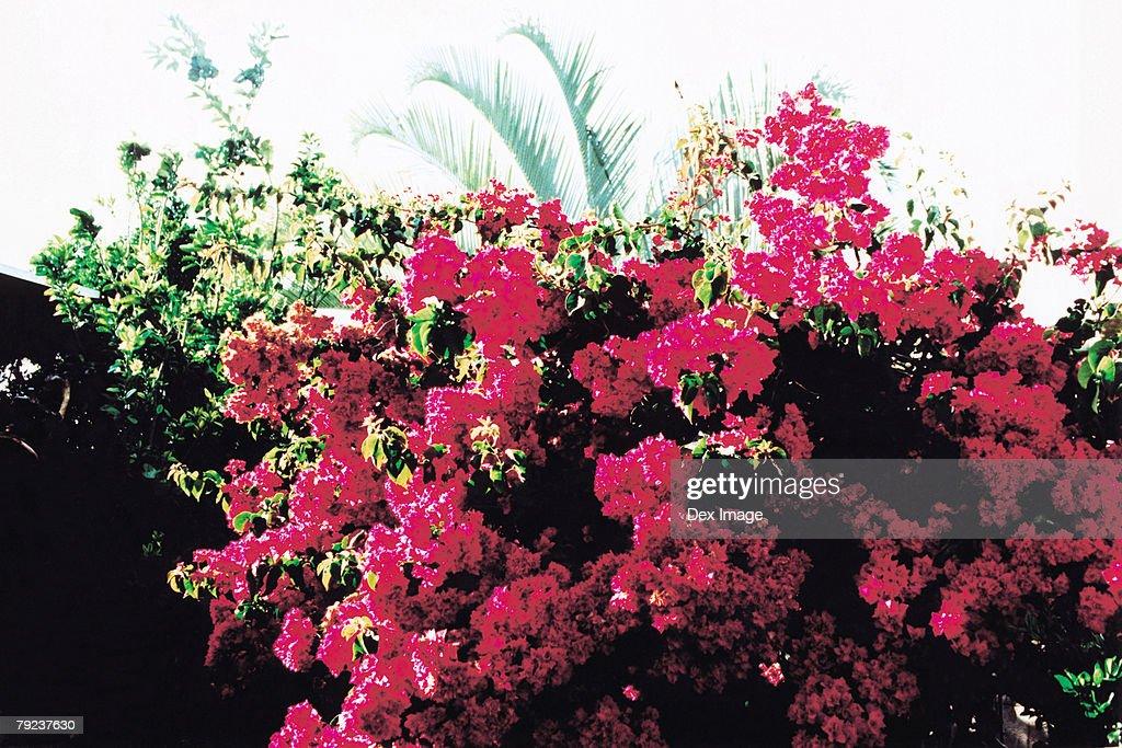 Pink Bougainvillea flowers : Stock Photo