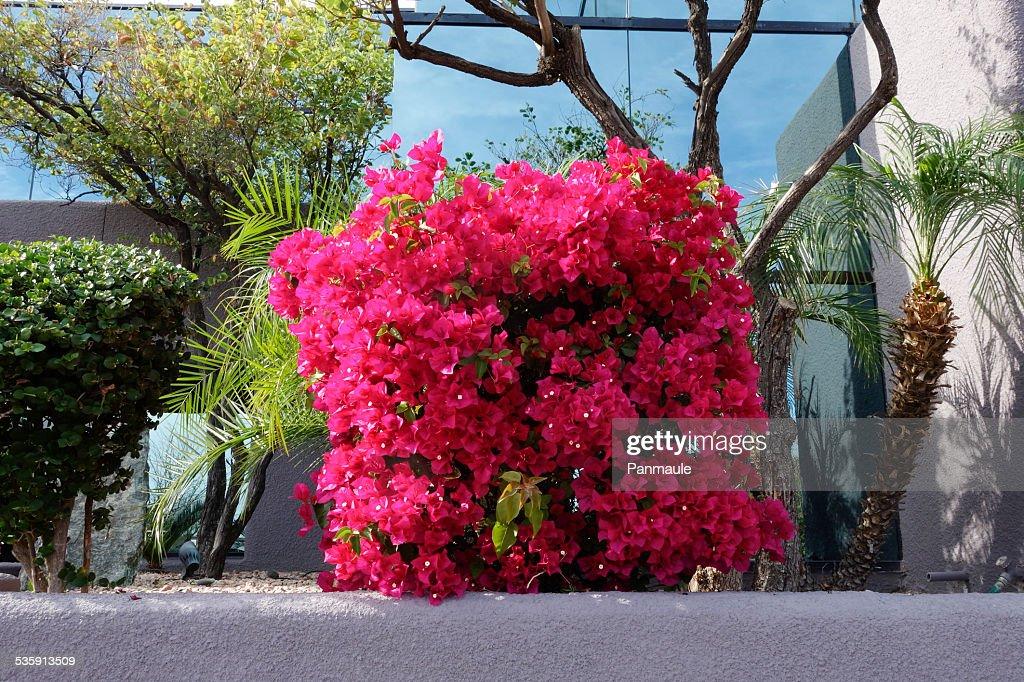 Rosa Buganvília : Foto de stock